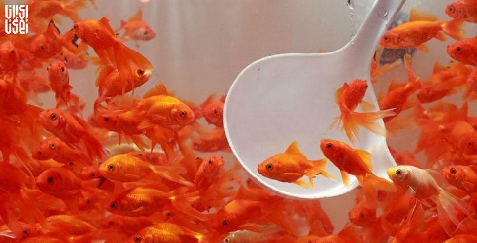 شایعه در شهر؛ ماهی قرمز های نوروزی ویروس کرونا را به ایران می آورند