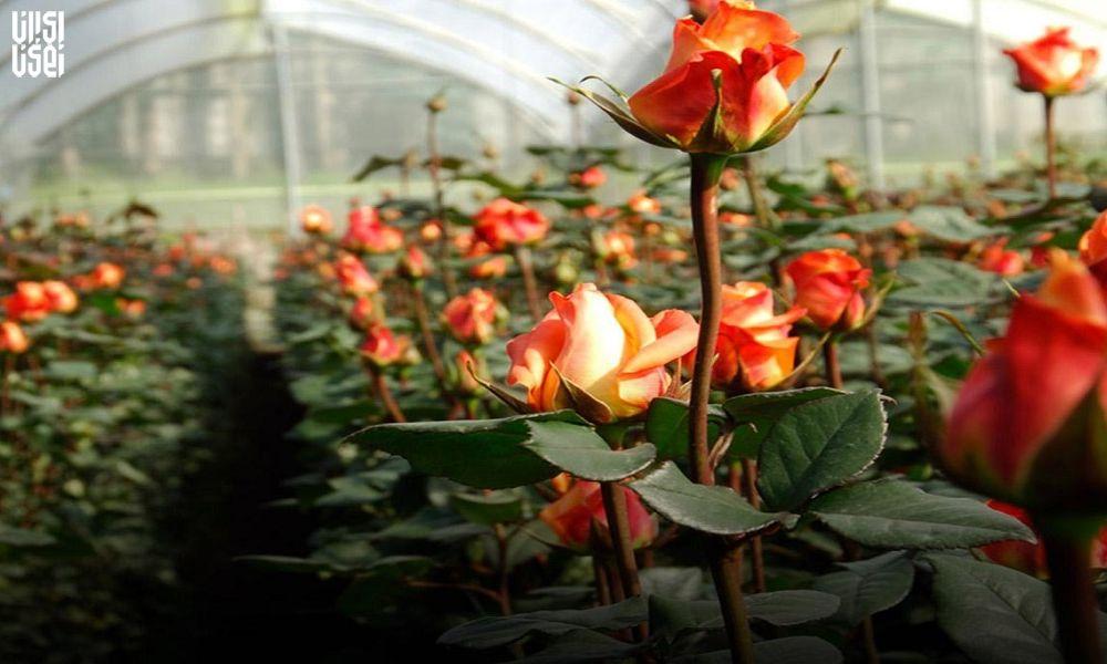 برآورد میزان خسارت شیوع ویروس کرونا به محصولات حوزه گلخانه، گیاهان دارویی و قارچ خوراکی