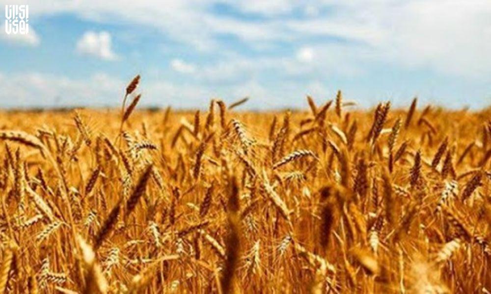 گندم های مازاد کشاورزان که به میزان 825 هزار تن بود خریداری شد