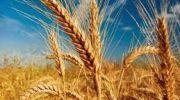خرید 10 هزار میلیارد گندم تضمینی