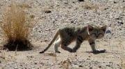 دوربین های تله ای تصویر یک گربه شنی در استان کرمان را ثبت کردند